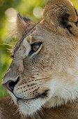 Portrait of Lioness (Panthera leo) , Masai Mara , Kenya