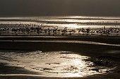 Flamingos at sunrise , Lake Bogoria, Kenya