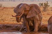 African Elephant (Loxodonta africana) female bathing, Tsavo East National Park, Kenya