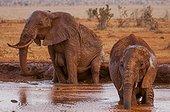 African Elephant (Loxodonta africana) bathing, Tsavo East National Park, Kenya