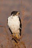 Augur Buzzard (Buteo augur)on a branch, Tsavo East National Park, Kenya
