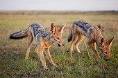 Young Black-backed jackal (Canis mesomelas ) in the savanna , Maasai Mara , Kenya