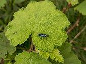 Sawfly (Cibdela janthina) adult on Giant Bramble (Rubus alceifolius), Reunion island