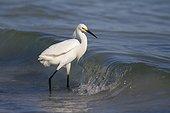 Snowy egret (Egretta thula) Sanibel Island, Florida, USA.