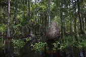 Southern Yellowjacket (Vespula squamosa) giant nest, approximately 2m/6.5ft tall, Fisheating Creek Wildlife Management area, Florida, USA. Summer