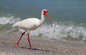 American White Ibis (Eudocimus albus) at beach, Cayo Costa State Park, Florida, USA.