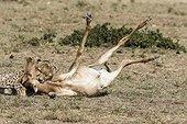 Kenya, Masai-Mara game reserve, cheetah (Acinonyx jubatus), female killing a topi