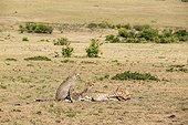 Kenya, Masai-Mara game reserve, cheetah (Acinonyx jubatus), cubs 7/8 months old eating a topi killed by their mother