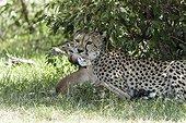 Kenya, Masai-Mara game reserve, cheetah (Acinonyx jubatus), female killing a young impala