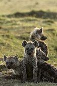 Kenya, Réserve nationale du Masai-Mara, Hyène tachetée (Crocuta crocuta), jeunes au terrier