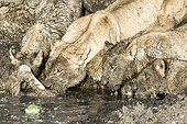 Kenya, Masai-Mara game reserve, lion (Panthera leo), group eating a zebra in the mud on the banks of the river