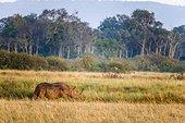 Kenya, Masai-Mara game reserve, Black rhino (Diceros bicornis), male