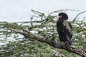 Kenya, Shaba game reserve, bateleur (Terathopius ecaudatus)