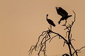 Kenya, Masai-Mara game reserve, crowned crane (Balearica regulorum gibbericeps), couple at sunrise