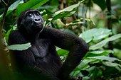 Western lowland gorilla (Gorilla gorilla gorilla) in Marantaceae forest. Odzala-Kokoua National Park. Cuvette-Ouest Region. Republic of the Congo