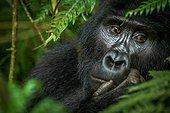 Portrait of Mountain gorilla (Gorilla beringei beringei). Bwindi Impenetrable Forest. Uganda