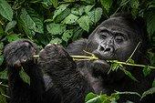 Portrait of Mountain gorilla (Gorilla beringei beringei) feeding. Bwindi Impenetrable Forest. Uganda