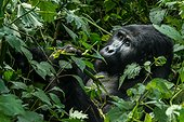 Mountain gorilla (Gorilla beringei beringei) eating foliage. Bwindi Impenetrable Forest. Uganda