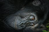Portrait of Mountain gorilla (Gorilla beringei beringei) at rest. Bwindi Impenetrable Forest. Uganda