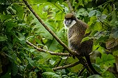 Bale Mountains vervet (Chlorocebus djamdjamensis) or Bale Monkey. Bale Mountains National Park. Ethiopia.