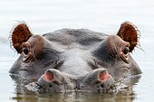 Common hippopotamus or hippo (Hippopotamus amphibius). Eastern Shores. iSimangaliso Wetland Park. KwaZulu Natal. South Africa