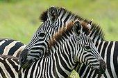 Plains zebra, also known as the common zebra or Burchell's zebra (Equus quagga), formerly Equus burchellii). Western Shores. iSimangaliso Wetland Park. KwaZulu Natal. South Africa