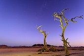 Desert scenery, the Milky Way and dead camel thorn, giraffe thorn (Vachellia erioloba) trees at night. Sossusvlei. Namib-Naukluft National Park. Near Sesriem. Namibia