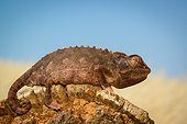 Namaqua Chameleon (Chamaeleo namaquensis). Desert Rhino Camp. Palmwag Concession. Namibia.