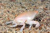 Deep-sea crustacean (Lyreidius tridentatus) on the sand, -400 m, New Caledonia