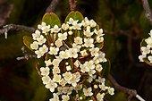 Cyathopsis (Cyathopsis albicans) flowers, Yate, New-Caledonia