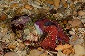 Conch (Peristernia nassatula) sur le sable, Yaté, New-Caledonia