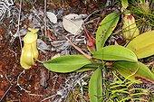 Nepenthes Pitcher Plant (Nepenthes vieillardii) urn, Koghi, New-Caledonia