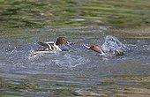 Canards pilets (Anas acuta) combat territorial entre mâles sur l'eau, Estuaire de la Loire, France