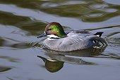 Canard à faucilles (Anas falcata) mâle sur l'eau, Estuaire de la Loire, France