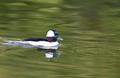 Garrot albéole (Bucephalus albeola) mâle sur l'eau, Estuaire de la Loire, France