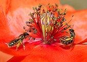 Sweat bee (Halictus marginatus) females on poppy, Northern Vosges Regional Nature Park, France