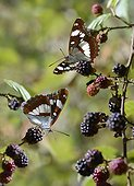 Southern White Admirals (Limenitis reducta) on Blackberries, Anduze, Cevennes, France