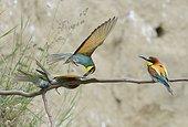European Bee-eater (Merops apiaster) robing prey to a conspecific, Danube Delta, Romania