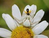 Goldenrod Spider (Misumena vatia) female capturing a Mining bee (Halictus sp), Northern Vosges Regional Nature Park, France