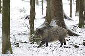 Eurasian Wild Boar (Sus scrofa) sow collecting twigs for making his 'cauldron' for calving, Bayerisher Wald, Germany