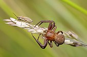 Crab spider (Xysticus cristatus) wanting to capture a Bug, Northern Vosges Regional Nature Park, Alsace, France