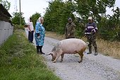 Out with the pig, Dunavatu Jos, Danube Delta, Romania