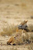 Couple de Chacals à chabraque (Canis mesomelas) se repose près de leur tanière, Parc Transfrontalier de Kgalagad, Cap-du-Nord, Afrique du Sud