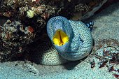Yellowmouth moray (Gymnothorax nudivomer) in reef, Flic-en-flac, Maurice island, Indian Ocean