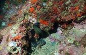 Mediterranean moray (Muraena helena) standing in reef, Marseille, Mediterranean sea, France