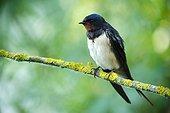 Barn swallow (Hirundo rustica) on a branch, Ardennes , Belgium