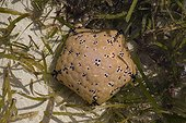 Dorsal view of Cushion star (Culcita schmideliana) found in shallow pool at low tide reef, Mombasa, Kenya