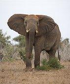 Elephant (Loxodonta africana) threatening ears flapping, Tsavo East National Park, Kenya