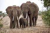 Two female elephant and calf Loxodonta africana Tsavo East National Park Kenya