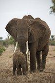 Elephant (Loxodonta africana) cow and calf, Tsavo East National Park, Kenya